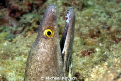 Purplemouth Moray Eel on top of the Perpendicular Rocks j... by Michael Kovach 